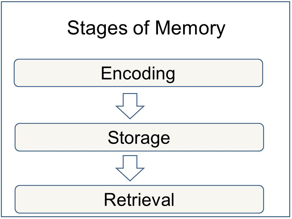An image mapping the stages of memory encoding.
